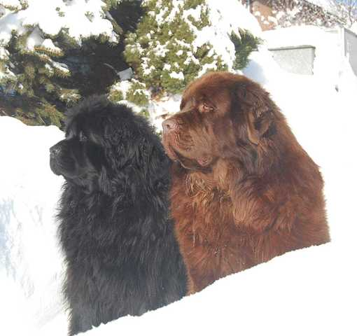 Black and brown Newfoundland dog
