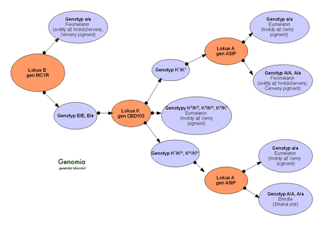 Diagram hierarchie alel určujících barvy srsti psů