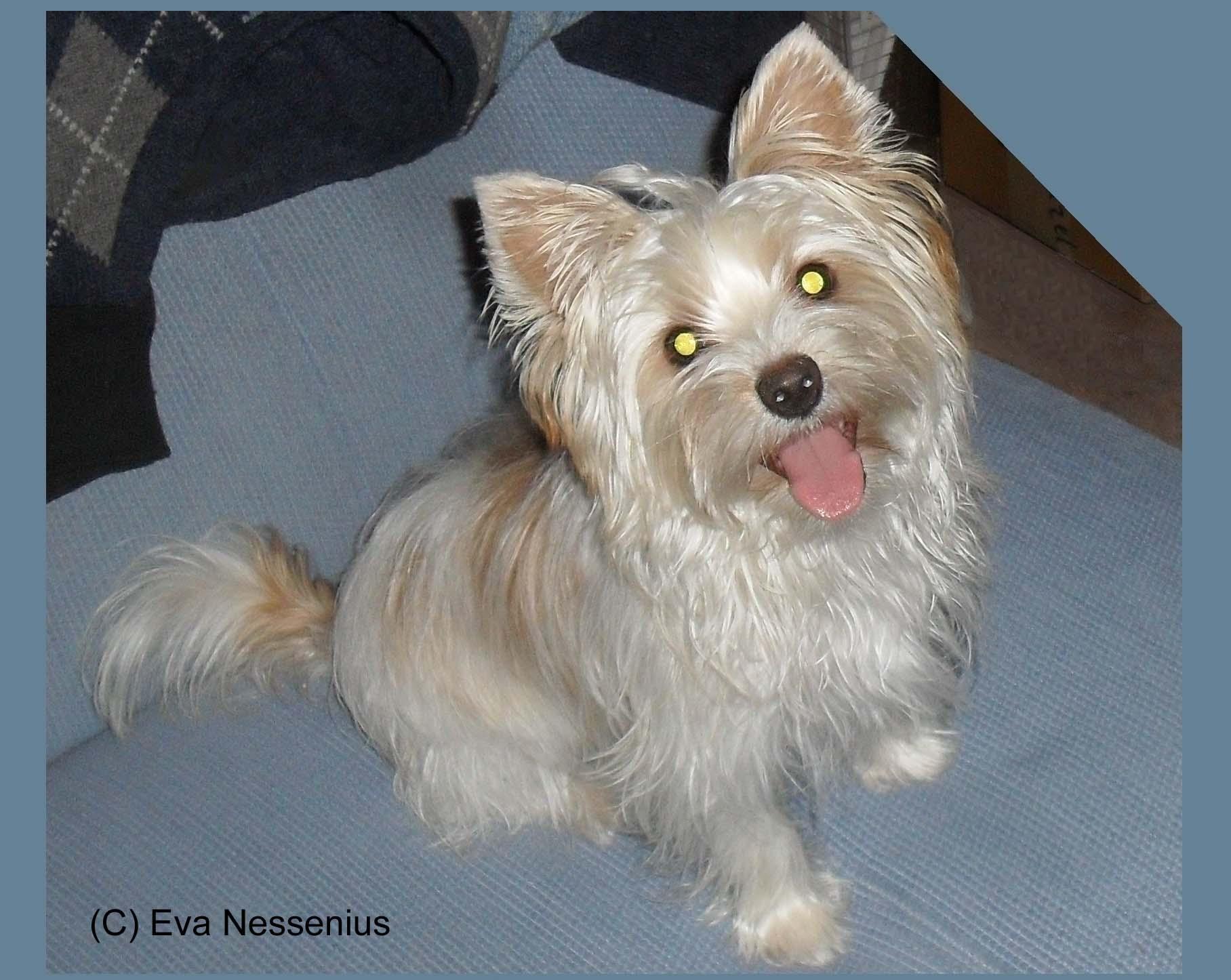 Genomia Yorkshire Terrier