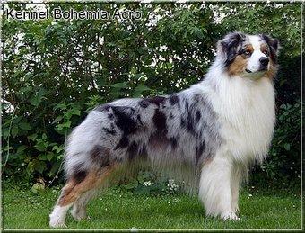 Genomia Testing Of Dogs Locus M Merle