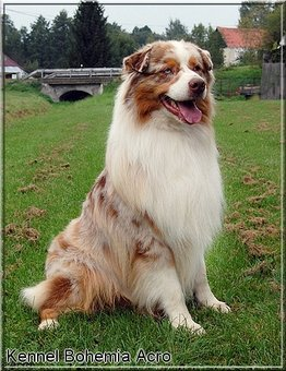 sheperd_red_merle