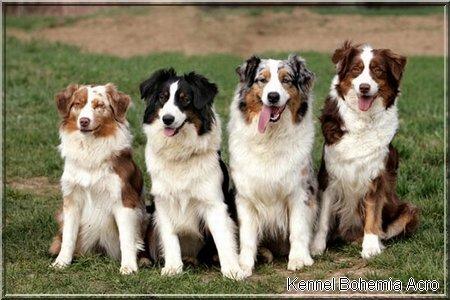 Der Australian Shepherd  Issn Rüde!  Hunde News amp Dogstyle